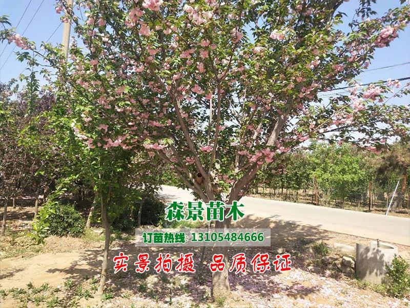 哈尔滨樱花,樱花专业供应商