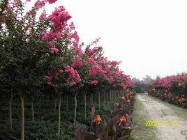热门紫薇树-月芬贸易有限公司专业供应紫薇树