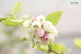 蓝莓苗木信息-实惠的蓝莓苗木推荐