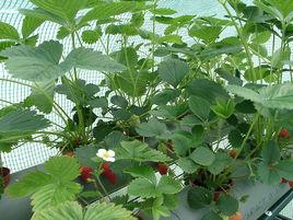 购买草莓苗就选月芬贸易有限公司_草莓苗种类