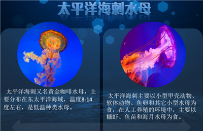 广东水母活体供应-厦门有品质的活体水母哪里有供应