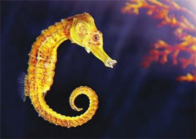重庆宠物海马价格 物超所值的活体海马就在帝幽