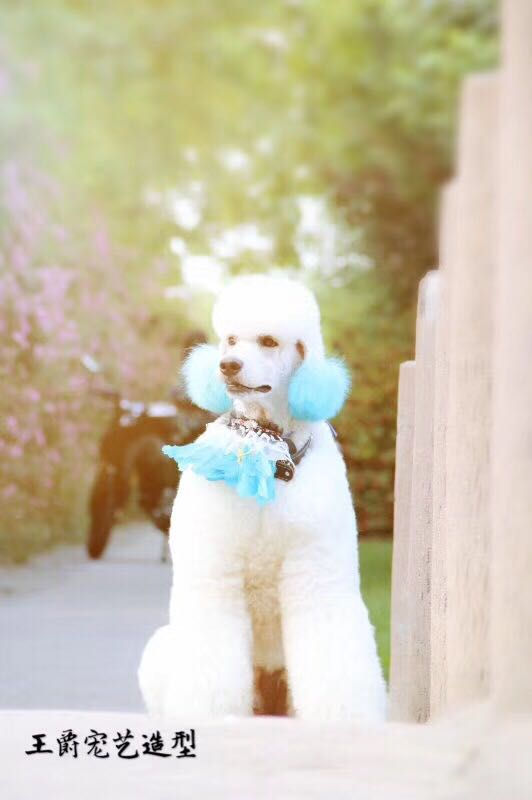 宠物美容老师-想找信誉好的宠物美容就来王爵宠艺宠物