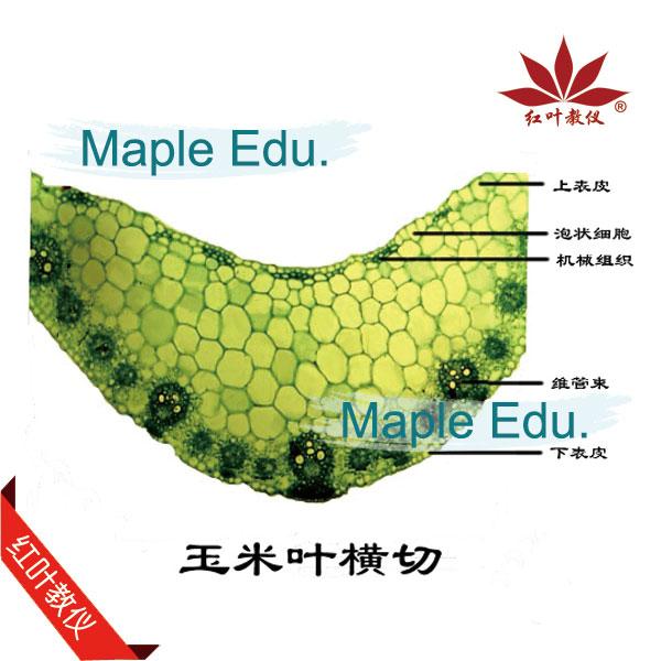 新乡生物切片标本-红叶教学仪器批发玉米茎横切标本
