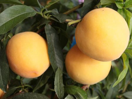 黄桃新品种_供应潍坊早熟黄金桃