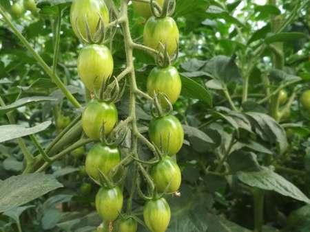 出口山東蔬菜批發-供應泰安優惠的圣女果