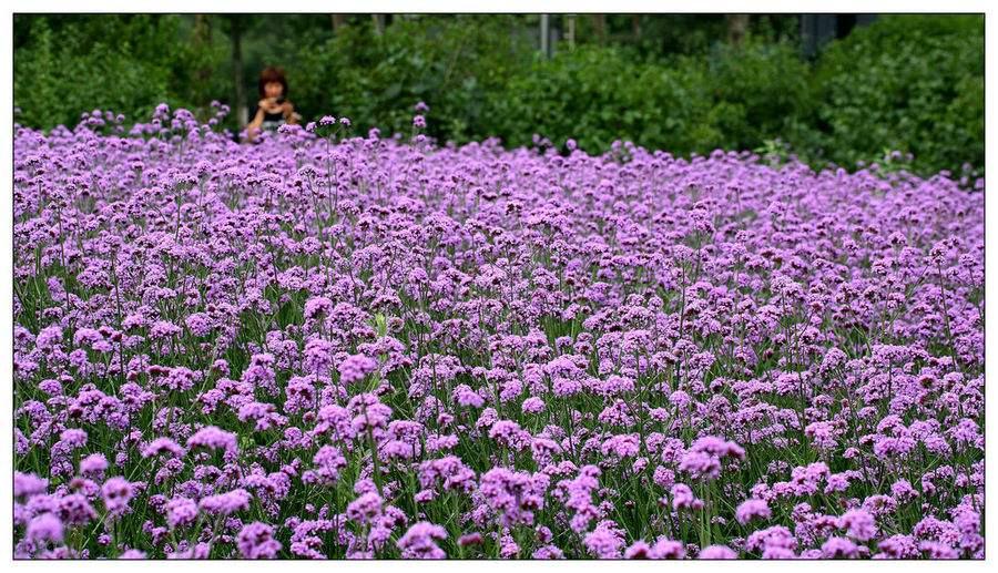 马鞭草供应商|文婷花卉苗木有品质的马鞭草出售