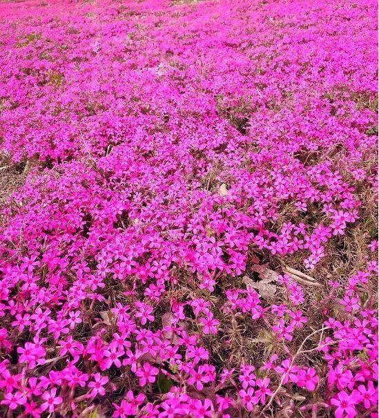 叢生福祿考批發-性價比高的叢生福祿考就在文婷花卉苗木