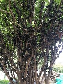 树葡萄经济实惠,实惠的树葡萄出售
