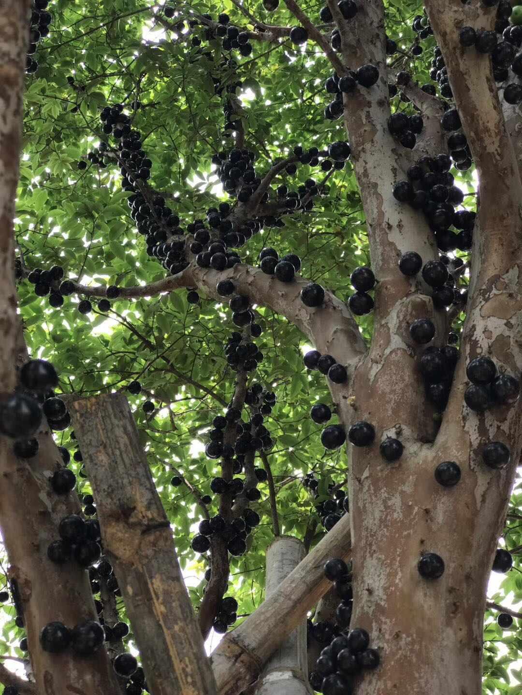 高级的树葡萄 想要优惠的树葡萄就来万卉园花卉