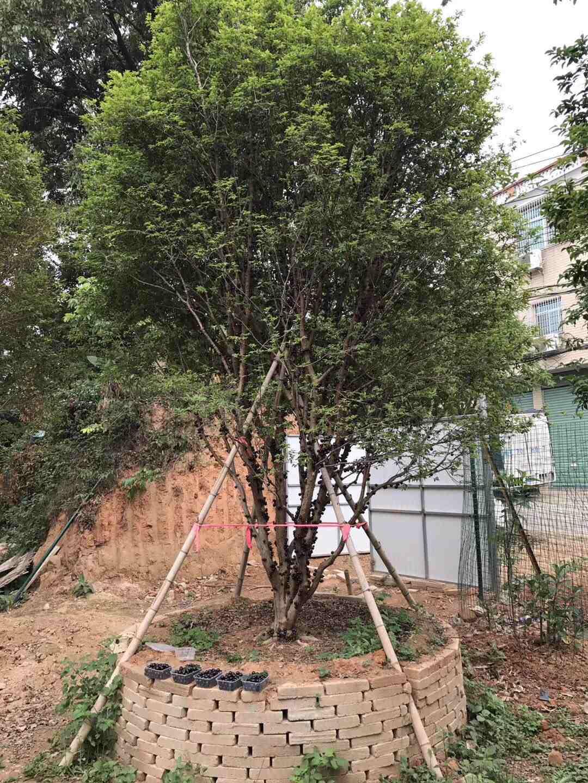 哪里有供应树葡萄 报价合理的树葡萄