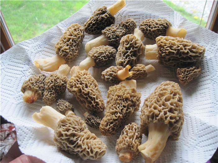 野生羊肚菌厂家推荐-采购高性价野生羊肚菌就找蒲县昕源种业