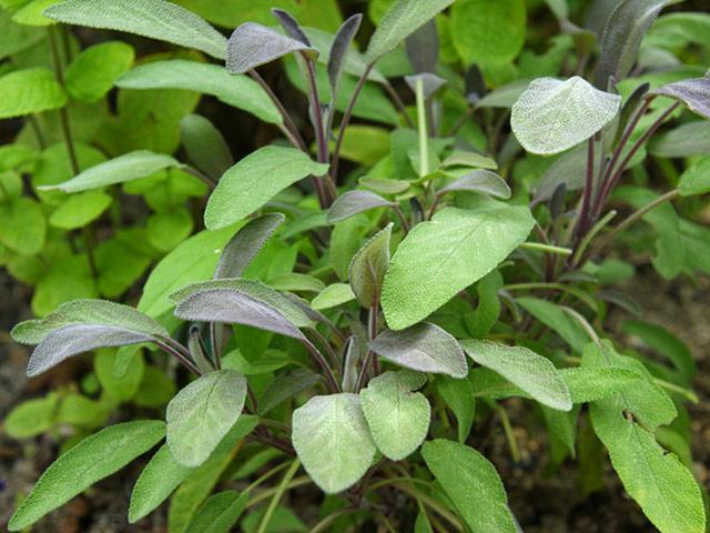 【怪我喽】鼠尾草种植基地¥批发优质鼠尾草$乐佳花卉