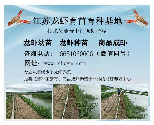宿迁小龙虾养殖基地,可信赖的龙虾种苗养殖基地在江苏