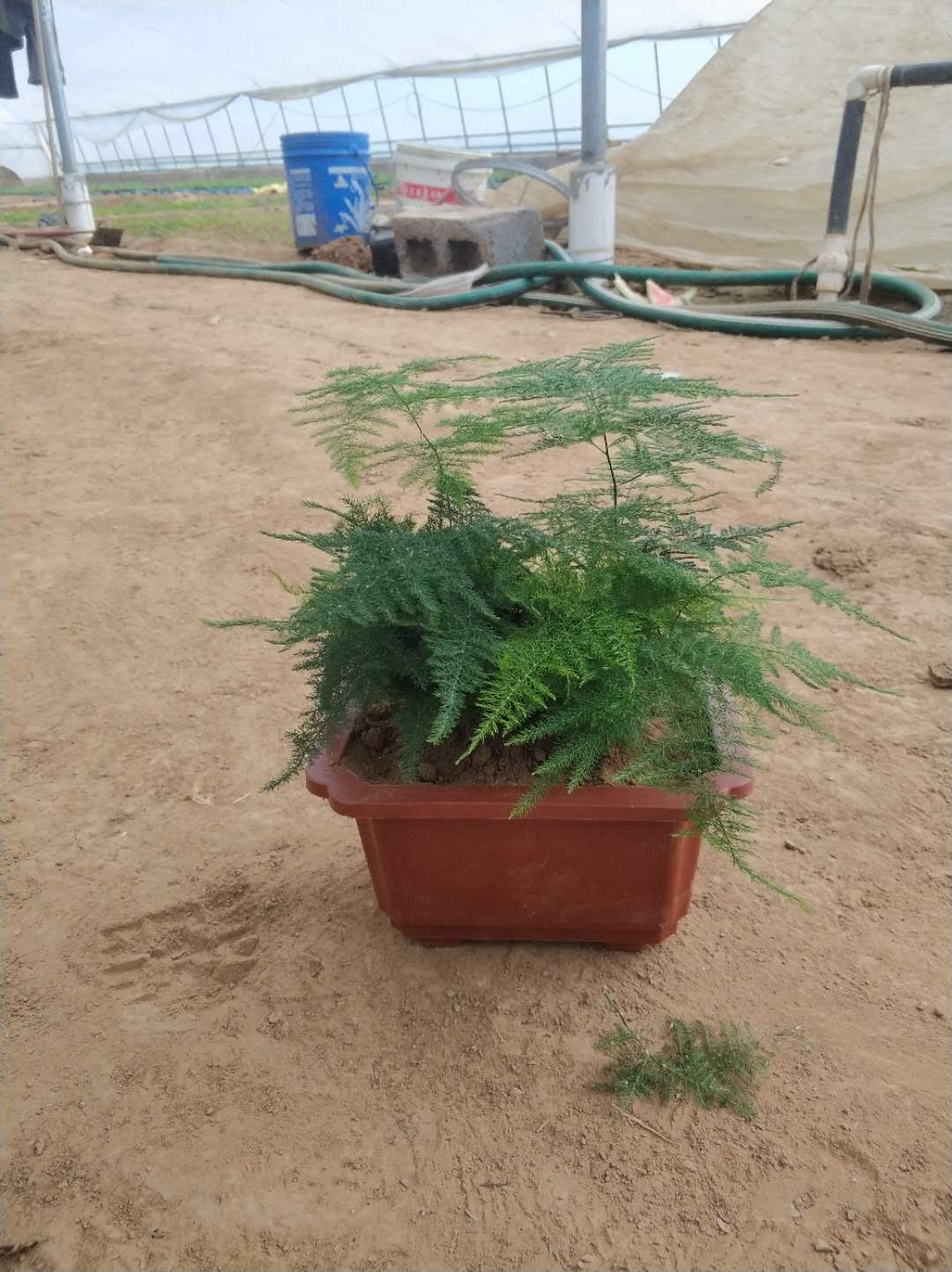 想买好的文竹就到若琳花卉苗木 ,文竹盆景供应