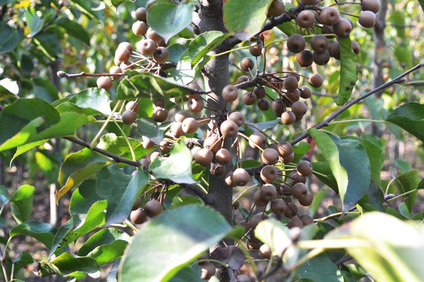 5公分6公分彩叶豆梨-供应山东实惠的彩叶豆梨