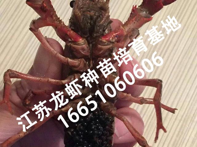 宿迁具有口碑的龙虾苗供应 龙虾种苗提供