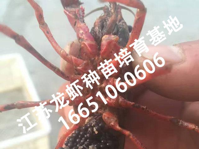 龙虾苗哪里有供应-江都批发龙虾种