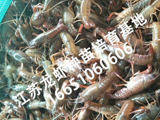 苏州批发龙虾苗 专业的龙虾苗市场价格