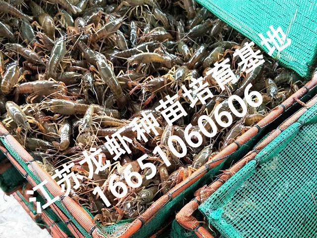 宿迁可靠的龙虾苗提供商 建邺小龙虾养殖场