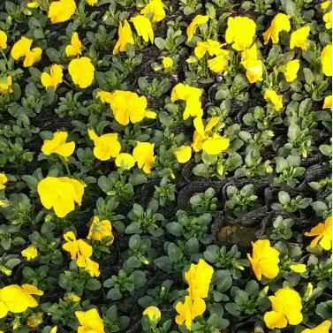 各类花卉,草花尽在西安张秋云花卉服务部