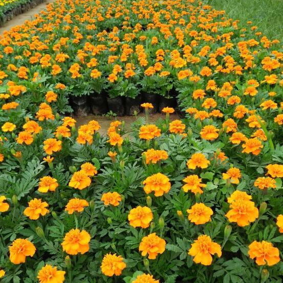 黄角堇_买花卉当然是到张秋云花卉