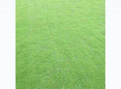 百慕大草坪找貝貝草坪-江西百慕大草坪批發基地