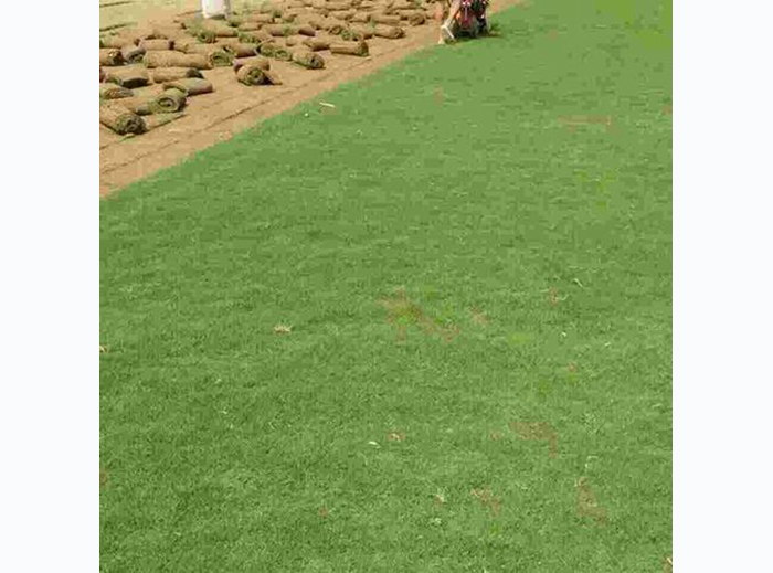 草坪批发价格 河南草坪厂家有什么特色