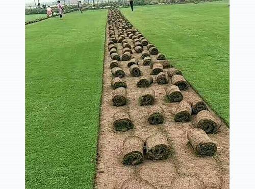 百慕大草坪价格 贝贝草坪专业供应百慕大草坪