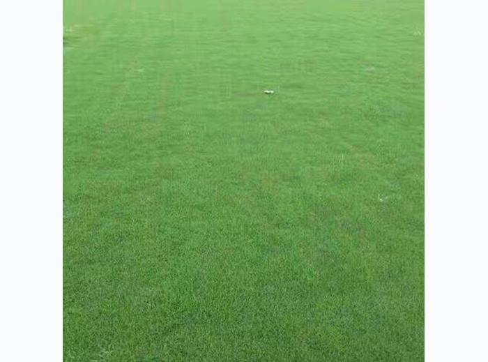 百慕大草坪找贝贝草坪,三门峡矮生百慕大草坪生产厂家