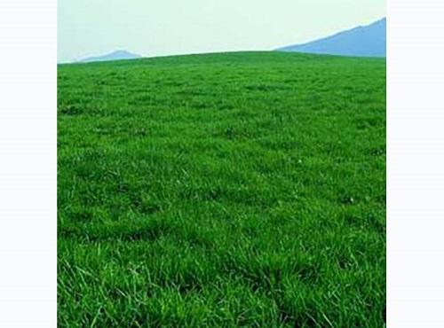 果岭草草坪批发|贝贝草坪专业供应果岭草草坪