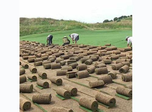 焦作马尼拉草坪批发价格-河南马尼拉草坪供应基地