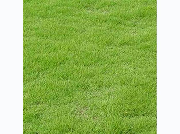 新鄉馬尼拉草坪供應_專業供應馬尼拉草坪