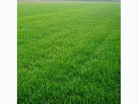 四季青草坪