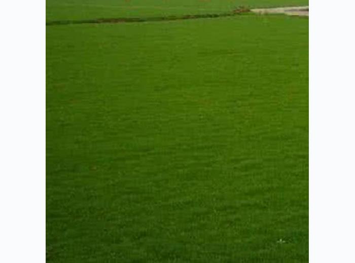 大量出售河南四季青草坪-四季青草坪供应
