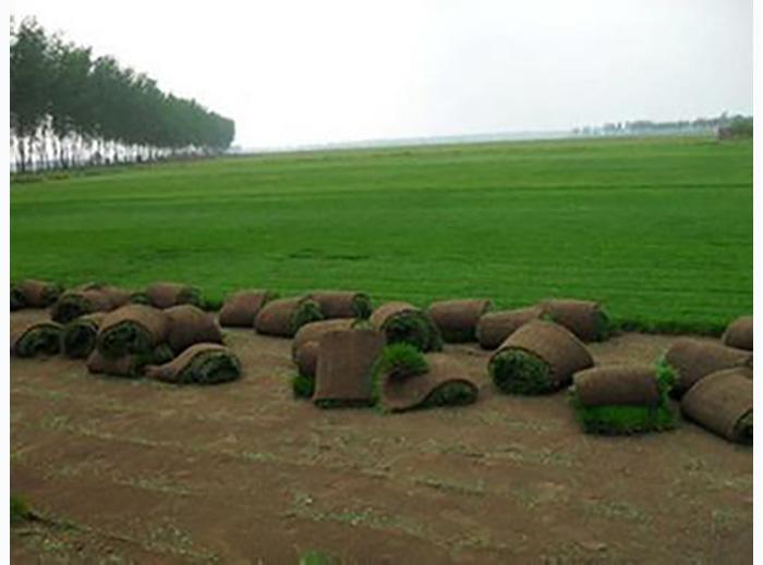 早熟禾草坪价格量大从优_四川早熟禾草坪价格