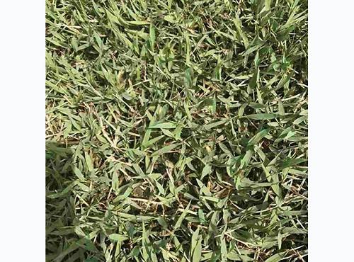山东中华结缕草草坪批发——专业供应中华结缕草草坪