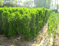 北海道黄杨小苗价格-哪里能买到优良的北海道黄杨