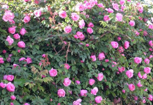 蔷薇种植,蔷薇批发,蔷薇出售