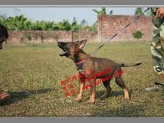 惠州正规狗场,惠州宠物基地,惠州大型狗场,惠州名犬繁殖基地