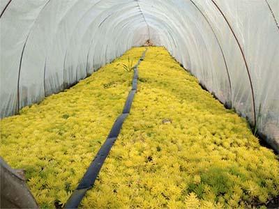 五色草优惠_徐州品质好的五色草哪里有供应