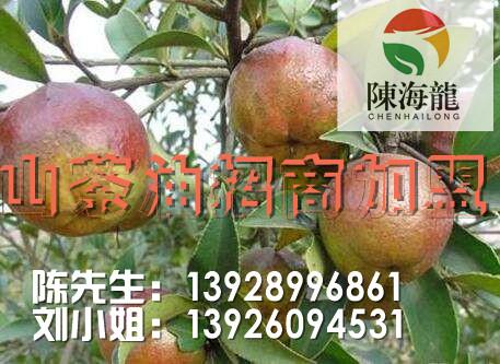 价格优惠的陈海龙野山茶油衡阳哪里有_山茶油价格