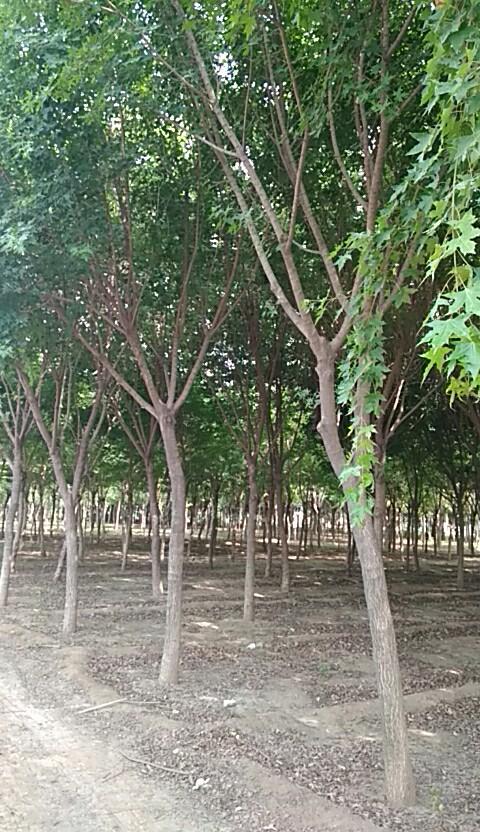 济南天行苗木批发价格-历下区五角枫供应商