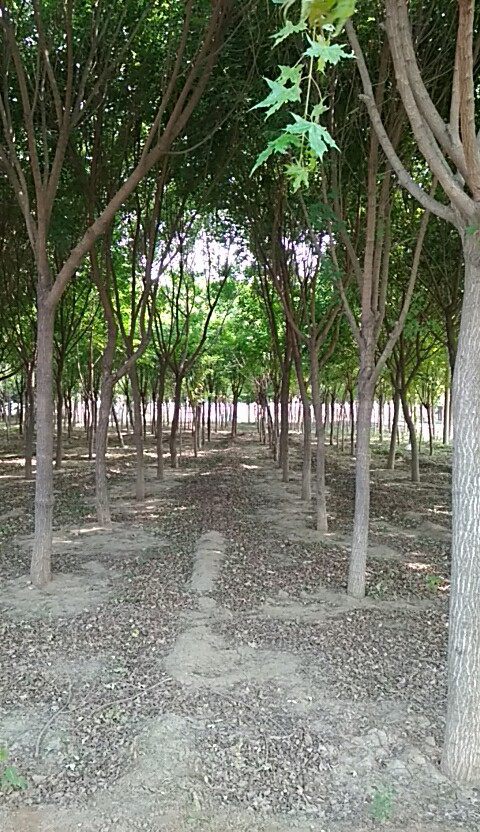 成活率高的天行苗木批发|山东五角枫多少钱