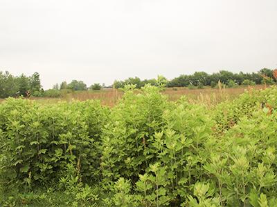 艾苗种植基地