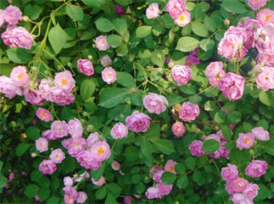【出售】蔷薇三季蔷薇——琦裕花卉