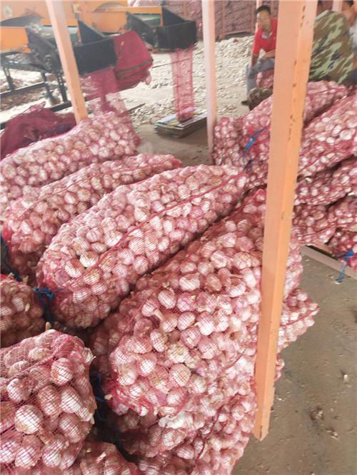 新鲜大蒜品牌|山东优质大蒜供应商