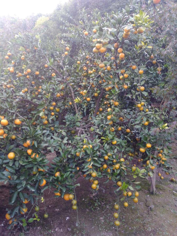 柑桔行情价格|上海市哪里供应的柑桔经济实惠
