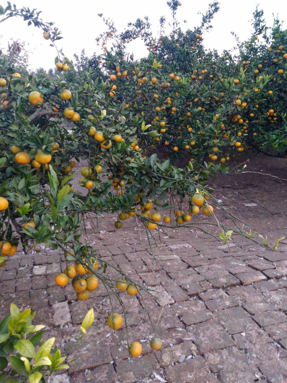 价格合理的柑桔月芬贸易有限公司供应_柑桔市场价格