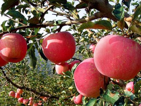 苹果树苗价格咨询_哈尔滨苹果树苗